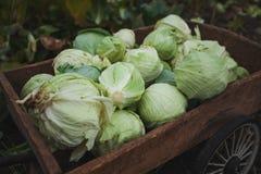 Συγκομιδή του οργανικού λάχανου, κάρρο χεριών κήπων Φυσική καλλιέργεια στοκ φωτογραφίες