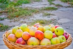 Συγκομιδή των μήλων σε ένα ψάθινο καλάθι Στοκ εικόνα με δικαίωμα ελεύθερης χρήσης