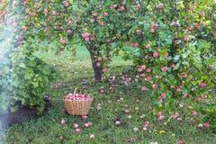 Συγκομιδή των μήλων στο καλάθι στα ξημερώματα στον κήπο στοκ εικόνα