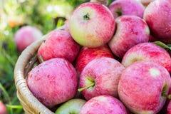 Συγκομιδή των μήλων στο καλάθι στα ξημερώματα στον κήπο στοκ εικόνες