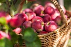 Συγκομιδή των μήλων στο καλάθι στα ξημερώματα στον κήπο στοκ φωτογραφία