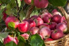 Συγκομιδή των μήλων στο καλάθι στα ξημερώματα στον κήπο στοκ εικόνες με δικαίωμα ελεύθερης χρήσης