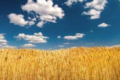 Συγκομιδή των ώριμων αυτιών σίτου κάτω από έναν σαφή μπλε ουρανό Στοκ Εικόνα