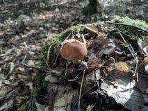 Συγκομιδή φθινοπώρου των μανιταριών στοκ εικόνα