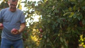 Συγκομιδή φθινοπώρου των μεγάλων κόκκινων μήλων στον κήπο Ecofarm, οπωρώνας μήλων Συγκομιδή της Farmer απόθεμα βίντεο