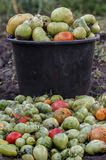 Συγκομισμένη πράσινη ντομάτα στον κάδο υποβάθρου Στοκ φωτογραφία με δικαίωμα ελεύθερης χρήσης