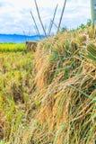 Συγκομισμένο ρύζι Στοκ φωτογραφίες με δικαίωμα ελεύθερης χρήσης
