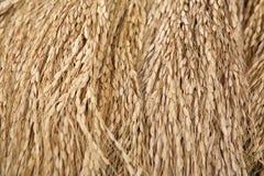 Συγκομισμένο ρύζι Στοκ Εικόνα