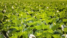 Συγκομιδές του λάχανου στοκ φωτογραφίες με δικαίωμα ελεύθερης χρήσης