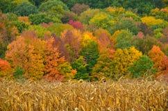 Συγκομιδή καλαμποκιού πτώσης μπροστά από τα χρώματα δέντρων βουνών και φθινοπώρου Στοκ εικόνες με δικαίωμα ελεύθερης χρήσης