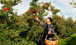 Συγκομιδή μήλων Στοκ Εικόνες