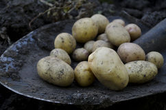 Συγκομιδή πατατών Στοκ εικόνες με δικαίωμα ελεύθερης χρήσης