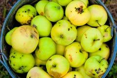 Συγκομιδή που σπάζουν και κακά μήλα στον κάδο Στοκ εικόνα με δικαίωμα ελεύθερης χρήσης