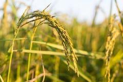 Συγκομιδή ρυζιού η ηλιοφάνεια Στοκ Εικόνα