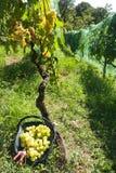 Συγκομιδή σταφυλιών Malvasia στοκ εικόνα