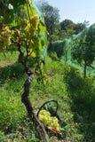 Συγκομιδή σταφυλιών Malvasia στοκ φωτογραφίες με δικαίωμα ελεύθερης χρήσης
