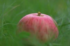 Συγκομιδή της Apple στη χλόη Στοκ Φωτογραφίες
