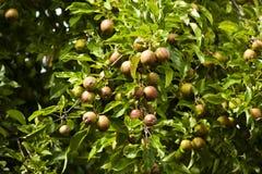 Συγκομιδή της Apple στο δέντρο Στοκ Φωτογραφία