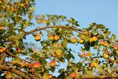 Συγκομιδή της Apple στο ηλιοβασίλεμα Στοκ εικόνες με δικαίωμα ελεύθερης χρήσης