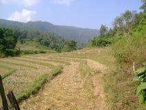Συγκομιδή τομέων ρυζιού στοκ φωτογραφία με δικαίωμα ελεύθερης χρήσης