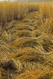 Συγκομιδή του ρυζιού για το κέρδος Στοκ φωτογραφία με δικαίωμα ελεύθερης χρήσης