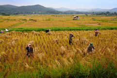 Συγκομίζοντας χρυσό ρύζι ελεύθερη απεικόνιση δικαιώματος