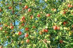 Συγκομιδή των κόκκινων μήλων σε ένα Apple-δέντρο Στοκ εικόνα με δικαίωμα ελεύθερης χρήσης