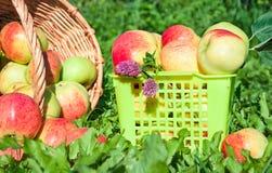 Συγκομιδή των κόκκινων juicy ώριμων μήλων Στοκ εικόνα με δικαίωμα ελεύθερης χρήσης