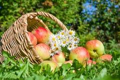 Συγκομιδή των κόκκινων juicy ώριμων μήλων Στοκ Εικόνες