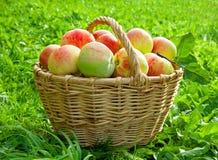 Συγκομιδή των κόκκινων juicy ώριμων μήλων Στοκ φωτογραφίες με δικαίωμα ελεύθερης χρήσης