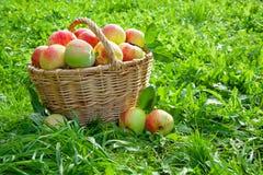 Συγκομιδή των κόκκινων juicy ώριμων μήλων Στοκ Φωτογραφίες