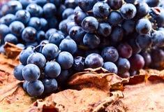 Συγκομιδή των σταφυλιών για την κατασκευή κρασιού Στοκ Εικόνες