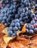 Συγκομιδή των σταφυλιών για την κατασκευή κρασιού Στοκ εικόνες με δικαίωμα ελεύθερης χρήσης