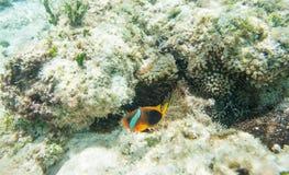 Συγκρατημένοι Clownfish και σκόπελος Anemone Στοκ φωτογραφία με δικαίωμα ελεύθερης χρήσης
