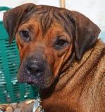 Συγχύσετε το σκυλί Στοκ Εικόνες