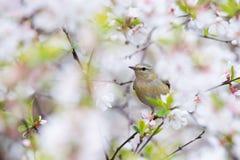 Συλβία του Τένεσι στα άνθη κερασιών Στοκ εικόνα με δικαίωμα ελεύθερης χρήσης