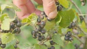 Συλλέγοντας με το χέρι τη μαύρη σταφίδα κοντά επάνω κήπος ανασκόπησης πράσινος φιλμ μικρού μήκους