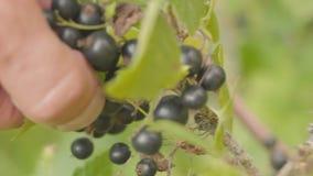 Συλλέγοντας με το χέρι τη μαύρη σταφίδα κοντά επάνω κήπος ανασκόπησης πράσινος απόθεμα βίντεο