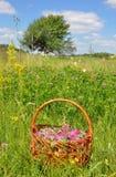 Συλλέξτε τα χορτάρια Συλλέξτε τα λουλούδια κόκκινου τριφυλλιού για το βοτανικό τσάι Στοκ Εικόνες