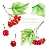 Συλλογή απεικόνισης μούρων viburnum Watercolor Στοκ Φωτογραφία