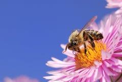 συλλογή της γύρης μελισ Στοκ φωτογραφία με δικαίωμα ελεύθερης χρήσης