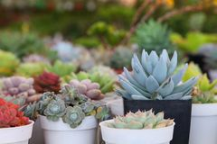 Συλλογή της υγιούς διακοσμητικής succulent επίδειξης στον κήπο θερμοκηπίων για το περιορισμένο διαστημικό αστικό σχέδιο κηπουρική στοκ εικόνες