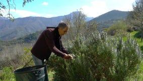 Συλλογή του δεντρολιβάνου στις Άλπεις απόθεμα βίντεο