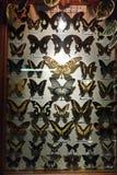 Συλλογή των πεταλούδων κάτω από το γυαλί σε ένα ξύλινο πλαίσιο Στοκ Εικόνες