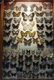 Συλλογή των πεταλούδων με μια ακτίνα του φωτός που κατευθύνεται σε τους Στοκ Εικόνες