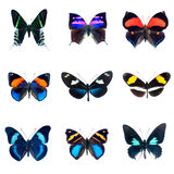 Συλλογή των πεταλούδων σε μια άσπρη ανασκόπηση Στοκ Εικόνες