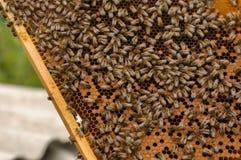 Συλλογή των πλαισίων μελιού με τις μέλισσες που συλλέγουν τα πλαίσια μελιού με τις μέλισσες Στοκ Φωτογραφία