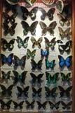 Συλλογή των πολύχρωμων ξηρών πεταλούδων και των πεταλούδων πίσω από το γυαλί Στοκ φωτογραφίες με δικαίωμα ελεύθερης χρήσης