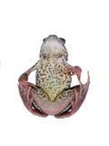 συμβολισμός της σφαιρικής πτώσης στα αμφίβια είδη βάτραχος στοκ φωτογραφία με δικαίωμα ελεύθερης χρήσης