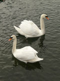 Συμμετρία Swanful Στοκ φωτογραφία με δικαίωμα ελεύθερης χρήσης